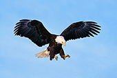 Eagle coming in for a landing