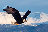 Eagle in flight with snow-covered mountains behind