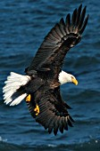 Eagle in flight turning to catch a fish