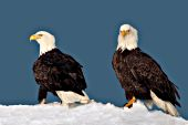 Bald eagle pair on a snowy hillside