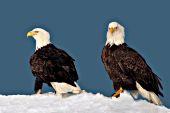 Bald eagle pair on a snowy hillside