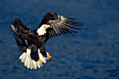 Adult eagle coming for a landing on the side of a cliff