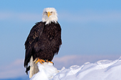 Adult eagle perched on a snow-covered cliff
