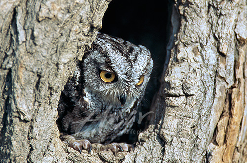 Gray screech owl in a tree hollow Wisconsin
