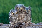 Trio of fledgling screech owls