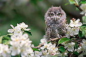 Fledgling screech owl (gray) in an apple tree