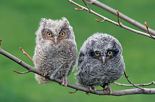 Pair of fledgling screech owls on a branch Wisconsin *