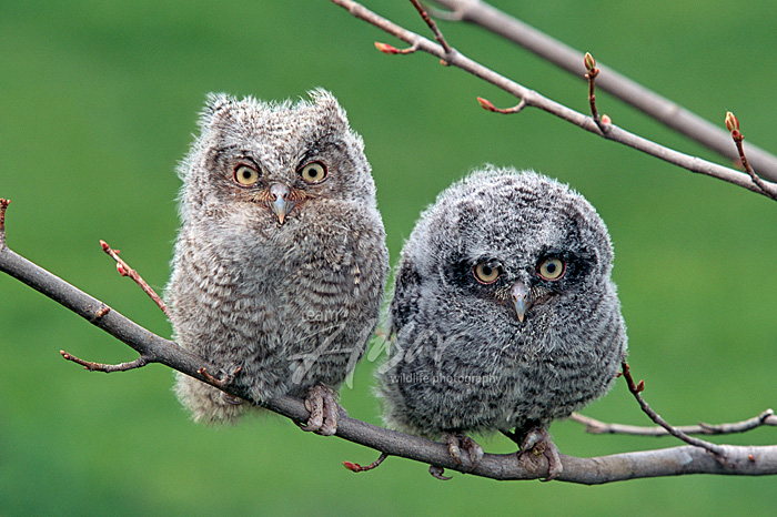 Pair of fledgling screech owls on a branch