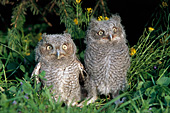 Pair of fledgling screech owls on the ground