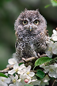 Fledgling screech owl surrounded by apple blossoms