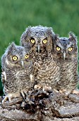 3 fledgling screech owls on a log