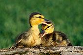 Mallard ducklings resting on a log