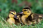 Pair of mallard ducklings