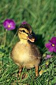 Mallard duckling in spring flowers