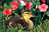 Mallard duckling in flowers