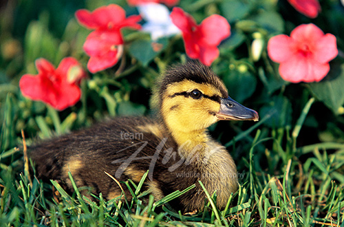 Mallard duckling in flowers Wisconsn *