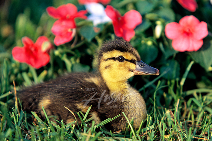 Mallard duckling in flowers