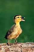 Noisy duckling standing on a log