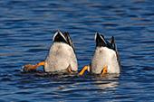 Two mallard drakes feeding in a pond
