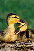 Mallard ducklings nuzzling one another
