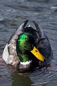 Mallard drake swimming in a pond