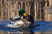 Mallard drake splashing in a pond