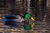 Mallard drake feeding in a pond