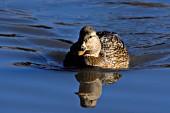 Mallard hen swimming in a pond