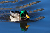 Mallard drake and reflection