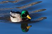 Mallard drake and reflection