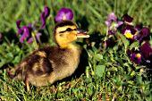 Mallard duckling & spring flowers