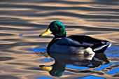 Mallard drake swimming at sunset