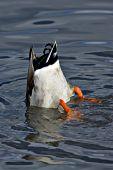 Mallard drake diving for food