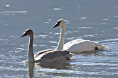 Cygnet (first fall) and parent