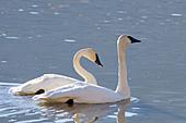 Trumpeter swan pair