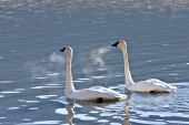 Trumpeter swan pair swimming on a cold morning