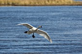 Trumpeter swan getting ready to land in water
