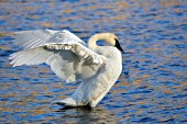 Trumpeter swan flapping its wings