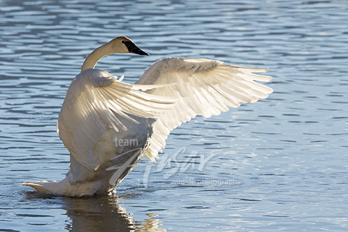 Trumpeter swan flapping its wings Grand Teton National Park, Wyoming