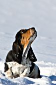 Basset hound puppy in snow