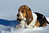 Basset hound puppy running in snow