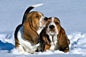 Two basset puppies playing outside in the snow