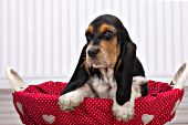 Basset hound puppy in a wicker basket