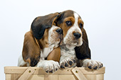Pair of basset puppies in a basket