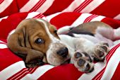Basset hound puppy resting in a striped dog bed