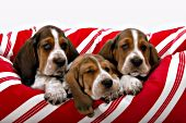 Three basset puppies in a striped dog bed