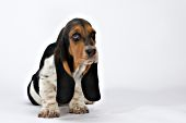 Basset hound puppy looking guilty