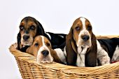 3 basset puppies in a wicker basket