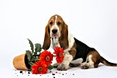Basset puppy looking guilty after overturning a flowerpot