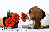 Basset puppy sniffing a flower from an overturning a flowerpot